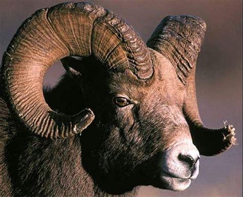 49 Best Images About Bighorn On Pinterest Horns Montana