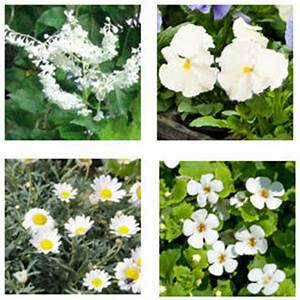 Dendranthema Hybride Balkon : balkonpflanzen mit wei en bl ten balkon oasebalkon oase ~ Lizthompson.info Haus und Dekorationen