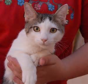 baby cats for adoption nevada spca animal rescue m a s h kittens debuting for