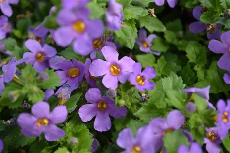 purple bacopa bacopa bacopa sutera hybrid bahia purple sand from