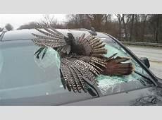 Wild turkey goes through windshield of truck WSBT