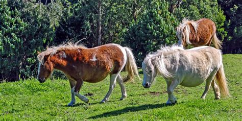 horse miniature horses mini characteristics everything know need minature facts ponies