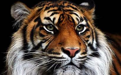 Tigre Bengala Wallpapers Imagenes Pantalla Fondos Tigres