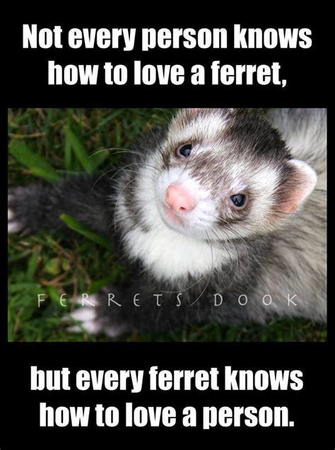 Ferret Meme - 286 best ferrets images on pinterest ferrets funny ferrets and pets