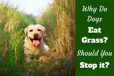 why do puppies eat their why do dogs eat grass is it true they do so when sick