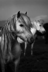 black and white, horses, photography - image #624797 on ...