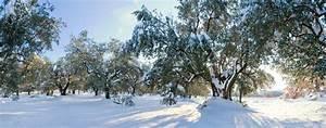 Olivenbaum Im Wohnzimmer überwintern : olivenbaum berwintern so bringen sie ihn sicher durch die k lte ~ Markanthonyermac.com Haus und Dekorationen