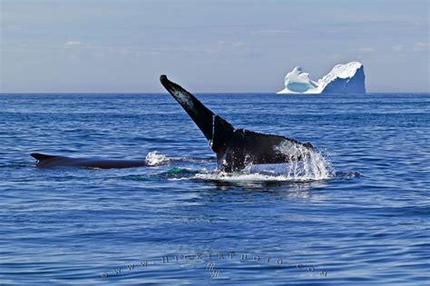 ocean avenue humpback whales icebergs photo information