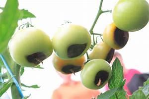 Stickstoffmangel Bei Pflanzen : tomaten d ngen leicht gemacht infos und tipps vom profi ~ Lizthompson.info Haus und Dekorationen