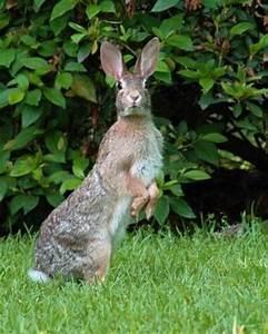 Wild Alabama Rabbit | Local Critters | Pinterest