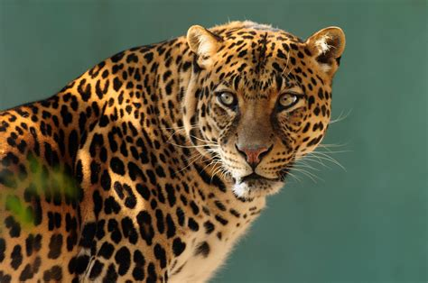 Leopard Animal Wallpaper - leopard hd wallpaper and background 2560x1698 id