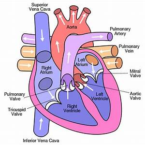 Human Heart Diagram - Human Body Pictures