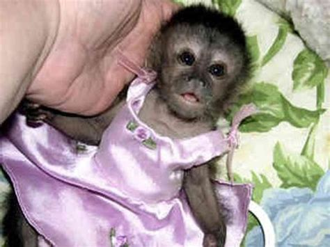 capuchin monkey pet the prissiest and priciest pets in the world indiatimes com