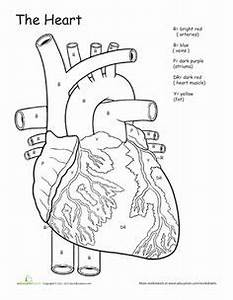13 best images of human heart worksheet worksheets heart With heart diagram