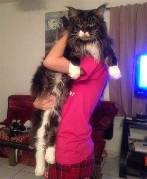 biggest   beautiful maine coon cats
