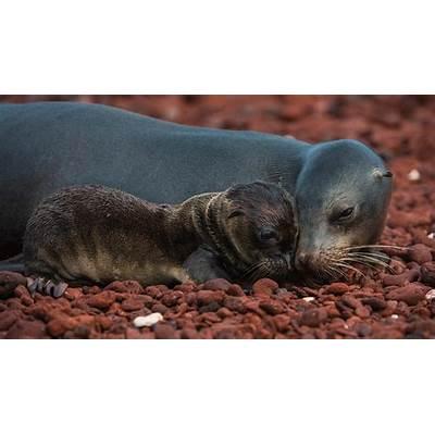 Galápagos sea lion and pup Rábida Island