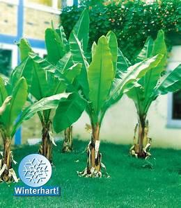 Tropische Pflanzen Kaufen : winterharte banane 39 gr n 39 pflanzen tropische g rten winterhart mediteraner garten ~ Watch28wear.com Haus und Dekorationen