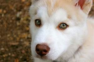 Gallery For > Green Eyed Husky