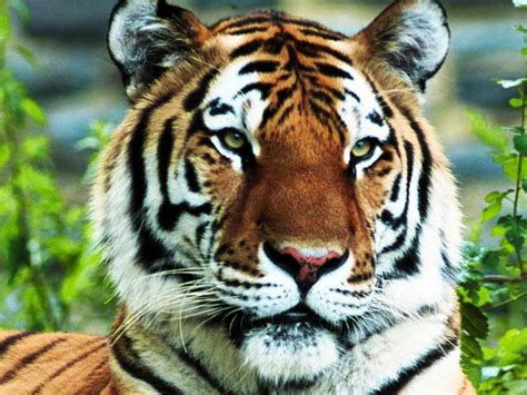 Tiger Pictures Big Cats Animal Photo