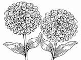 Pages Zinnia Coloring Flower Flowers Plants Zinnias Template sketch template