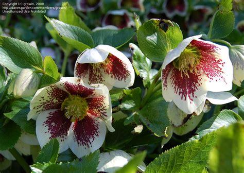 helleborus nurseries canada plantfiles pictures hellebore lenten white spotted helleborus x hybridus by growin