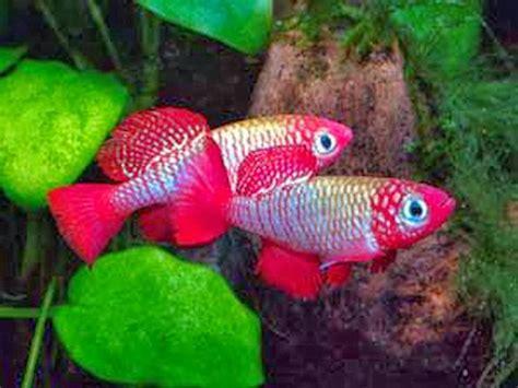 killifish fishes world hd images