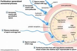 Fertilization | Britannica.com