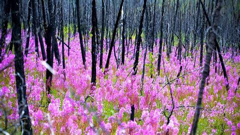 Burned Forest Bing Wallpaper Download