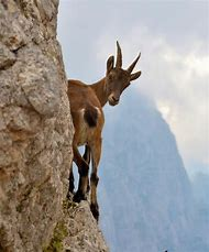 Mountain Goat Animal