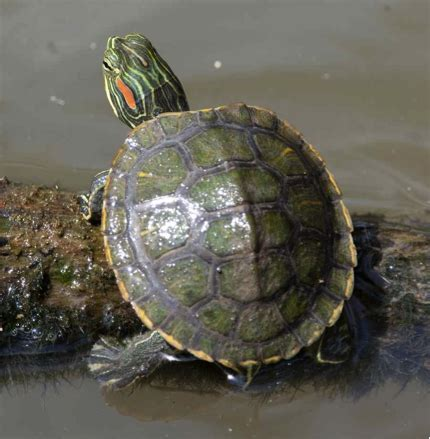eared slider shedding biomimicry selangor the journey of a turtle turtle s