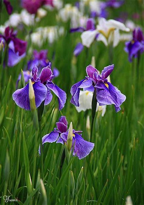 the 25 best irises ideas on