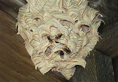 hornissennest im rolladenkasten