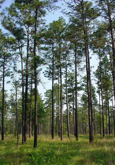 East Texas Nursery by Alabama Trees For Sale The Tree Center