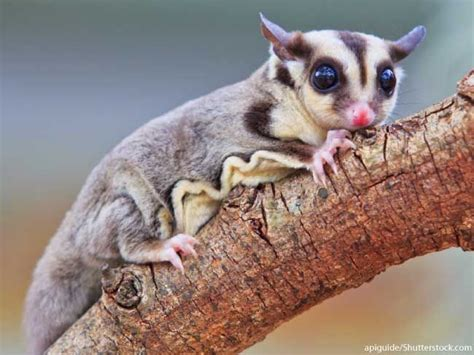 sugar glider facts 17 best images about animals on pinterest opossum sugar gliders and hd backgrounds