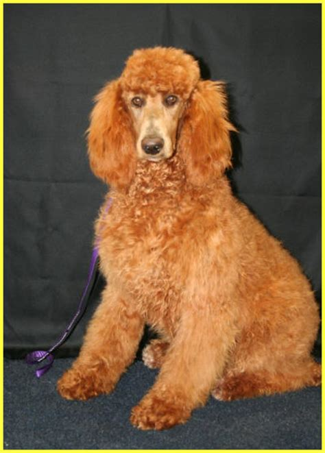 standard poodle breed information history health