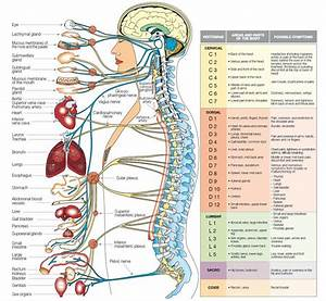 Main Human Body Systems And Their Connection