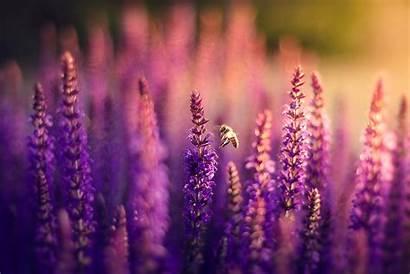 Lavender Purple Flower Field Nature Bee Bokeh