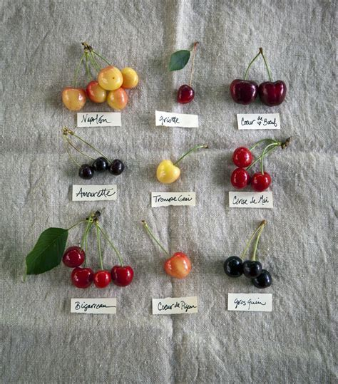 cherries types types of cherries timclinchphotography food pinterest