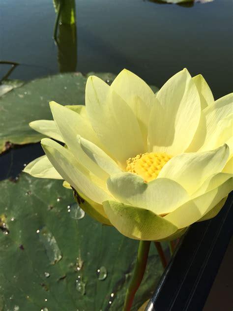Yellow lotus flower | Flowers, Nature, Plants