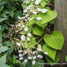 9 Of The Best Flowering Vines For Shade