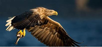 Sea Eagle Norway Spectacular Eagles Natures
