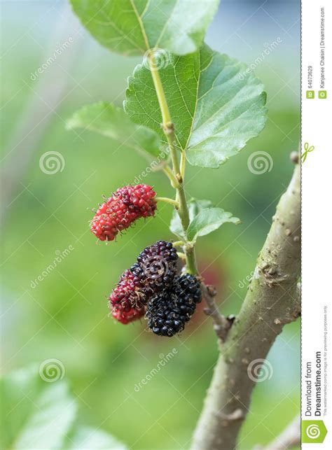mulberry tree no fruit mulberry stock photo image 64073629