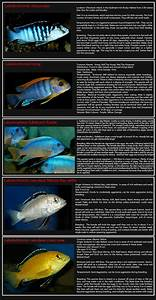 Mbuna Cichlids Species List