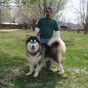 Alaskan Malamute Full Grown | www.imgkid.com - The Image ...