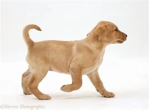 Dog cute yellow labrador puppy walking photo wp41147 for Puppy dog walker