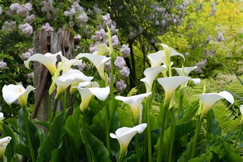 what flowers go with calla lilies photo gallery of calla lily varieties hgtv