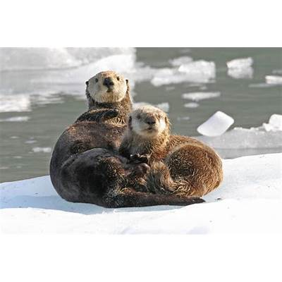 Amazing Sea Otter - Facts Photos Information