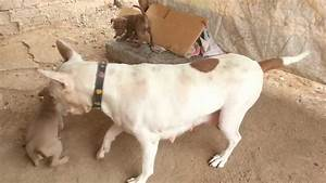 Mi American pitbull Terrier silver fawn LIONEL MESSI (la ...