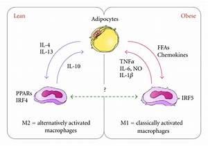 Regulation Of Macrophage Polarity In Adipose Tissue