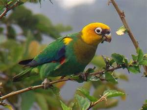 Parrot Identification Chart Saffron Headed Parrot Ebird